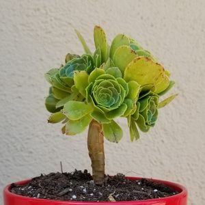 #1 small Aeonium tree